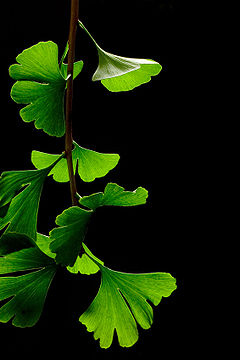 240px-Ginkgo_Biloba_Leaves_-_Black_Background