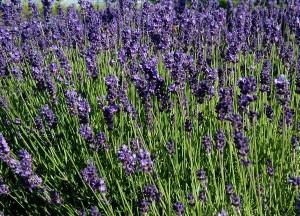 Lavandula-angustifolia-flowering-300x216