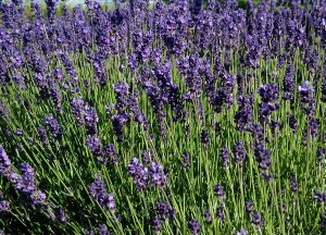Lavandula-angustifolia-flowering-300x216