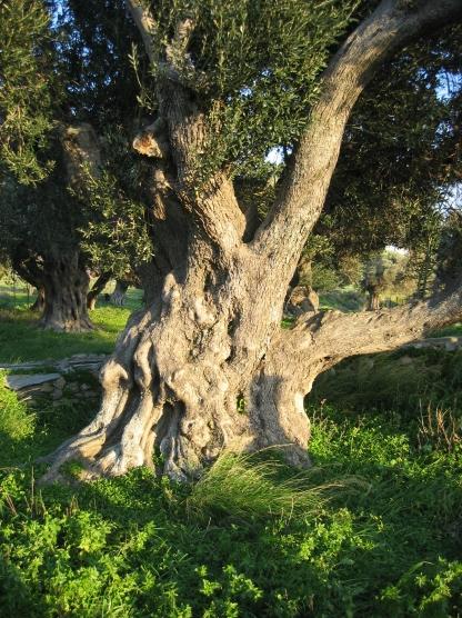 Olive_tree_Karystos