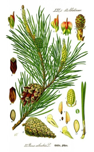 640px-Illustration_Pinus_sylvestris0