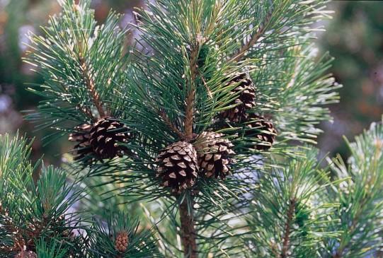 Pinus_sylvestris_branch-1024x691