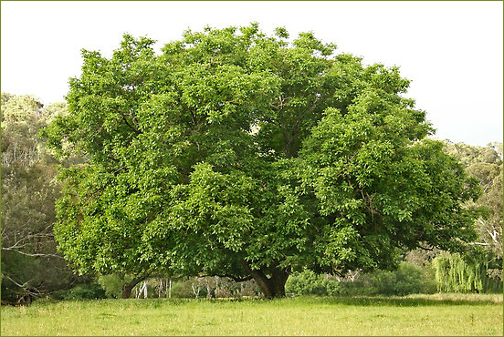 walnut-tree1