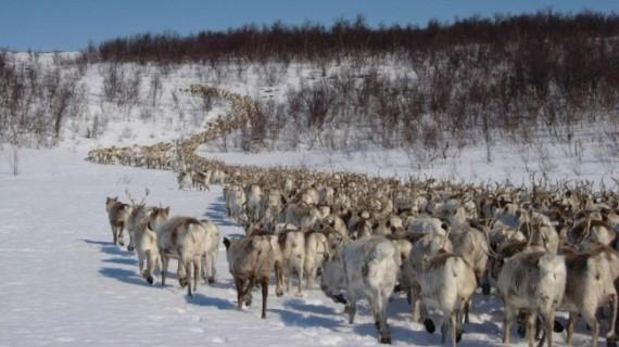 Reindeerherd
