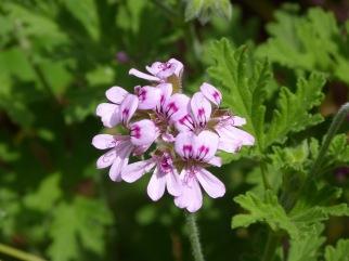 Pelargonium_graveolens.flower.01