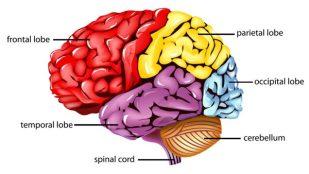 Frontal-lobe-